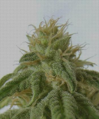 Review de cannabia semillas semillas afrodita cannabia