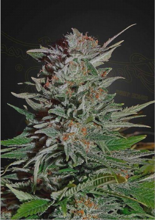 Todo sobre lemon semillas marihuana super lemon haze