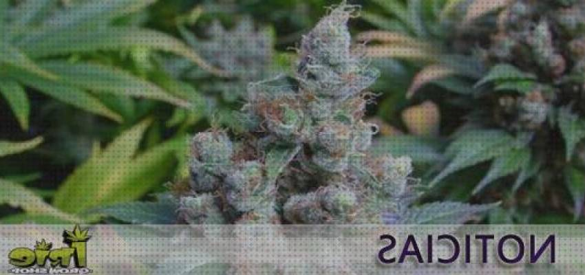 TOP 7 Semillas Mas Caras Cannabis